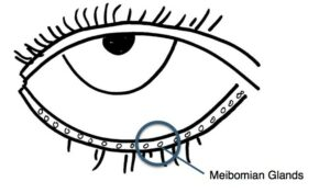 meibomian gland zoom jpeg